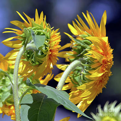 Sean Rights Managed Images - Double Sunflower 1897a Royalty-Free Image by Terri Winkler