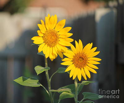 Photograph - Double Sunflowers 2  by Sheri LaBarr