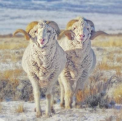 Photograph - Double The Ram Power by Amanda Smith