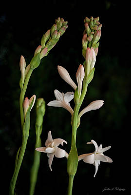Photograph - Double Tuberose In Bloom #2 by John A Rodriguez