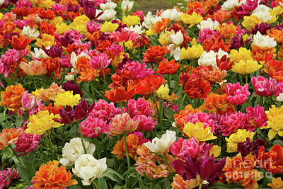 Photograph - Double Tulips Flowerbeds by Anastasy Yarmolovich
