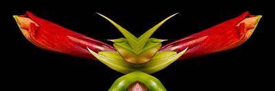 Photograph - Double Vison Close-up Of Amaryllis Bloom by James BO Insogna