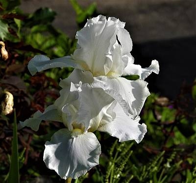 Photograph - Double White by Betty-Anne McDonald