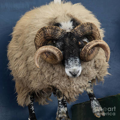 Dougal The Dancing Sheep  Art Print by Rob Hawkins