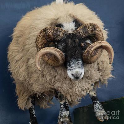 Ram Horn Photograph - Dougal The Dancing Sheep  by Rob Hawkins