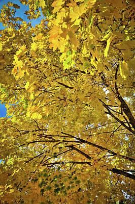 Photograph - Douglas Maple In Autumn by David Patterson