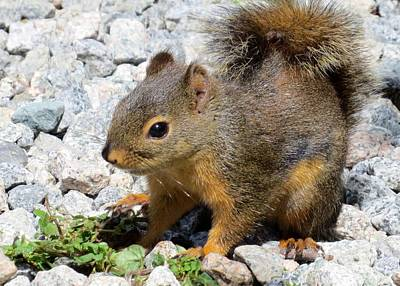 Photograph - Douglas Squirrel by Frank Townsley