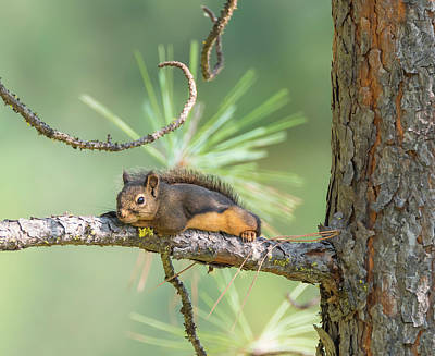 Photograph - Douglas Squirrel by Loree Johnson