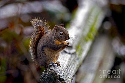 Photograph - Douglas Squirrel On A Log by Sharon Talson