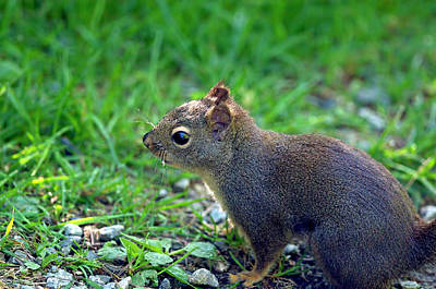 Photograph - Douglas Squirrel  by Sharon Talson