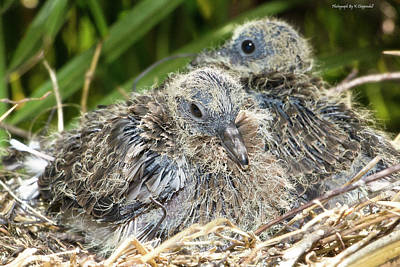 Photograph - Dove Chicks 004 by Kevin Chippindall