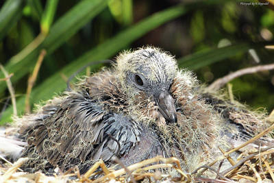 Photograph - Dove Chicks 005 by Kevin Chippindall