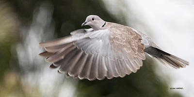 Photograph - Dove Flight by Don Durfee