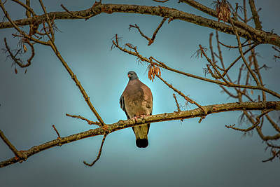 Photograph - Dove #g2 by Leif Sohlman