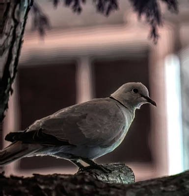 Photograph - Dove In Evening Light by Aliceann Carlton