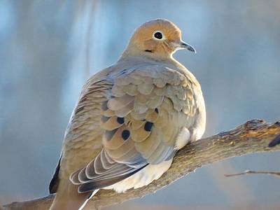 Photograph - Dove In Evening Light by Lori Frisch