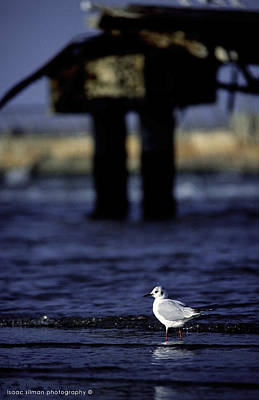 Photograph - Dove In Theold Port Of Tel  Aviv by Isaac Silman