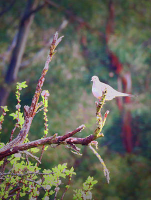 Photograph - Dove In The Pear Tree by Joyce Dickens