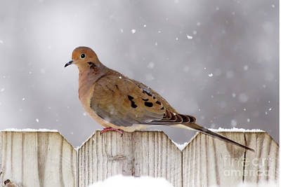 Mourning Dove Photograph - Dove In The Snow by Betty LaRue