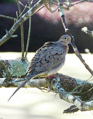 Photograph - Dove by Lizi Beard-Ward