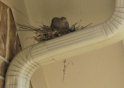 Photograph - Dove Nest In Spring by Connie Fox