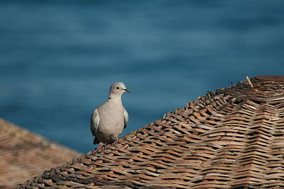 Photograph - Dove On A Woven Sun Parasol by Tracey Harrington-Simpson