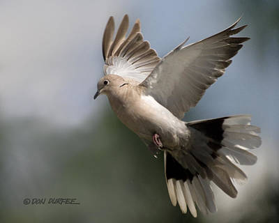 Photograph - Dove Takeoff by Don Durfee