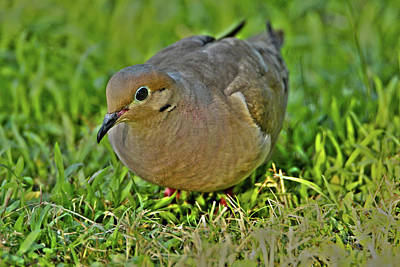 Photograph - Dove With Hdr by David Stasiak