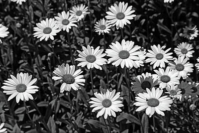 Photograph - Dow Garden Daisies 2 Bw by Mary Bedy