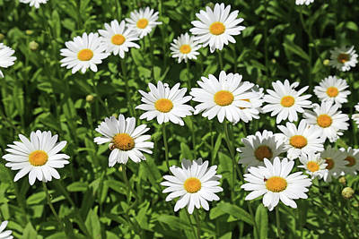 Photograph - Dow Garden Daisies 2 by Mary Bedy