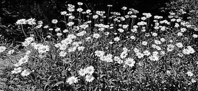 Photograph - Dow Garden Daisies Bw by Mary Bedy
