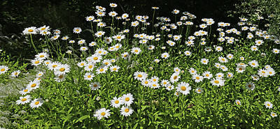 Photograph - Dow Garden Daisies by Mary Bedy