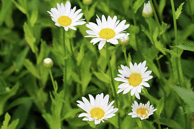 Photograph - Dow Gardens Daisies 2 062618 by Mary Bedy