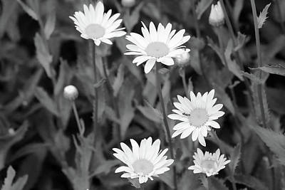 Photograph - Dow Gardens Daisies 2 Bw 062618 by Mary Bedy