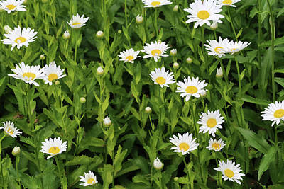 Photograph - Dow Gardens Daisies 3 062618 by Mary Bedy