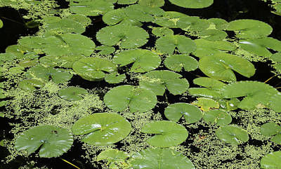 Photograph - Dow Gardens Lily Pads 2 by Mary Bedy
