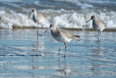 Photograph - Short-billed Dowitcher by Frank Madia