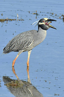 Photograph - Down The Hatch Night Heron by Alan Lenk