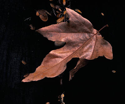 Photograph - Downed Sycamore Leaf by Paul Breitkreuz