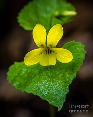 Photograph - Downey Vellow Violet Trillium by Grace Grogan
