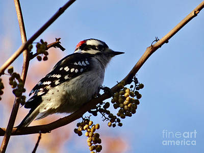 Photograph - Downey Woodpecker by Christopher Plummer