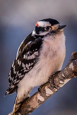 Small Woodpecker Photograph - Downey Woodpecker by Paul Freidlund