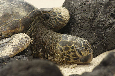 Sea Turtle Napping Photograph - Downtime by Allen Lefever
