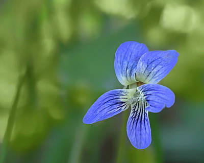Photograph - Downy Blue Violet by Nikolyn McDonald