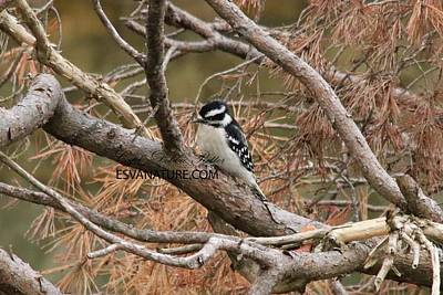 Photograph - Downy Woodpecker 2566 by Captain Debbie Ritter
