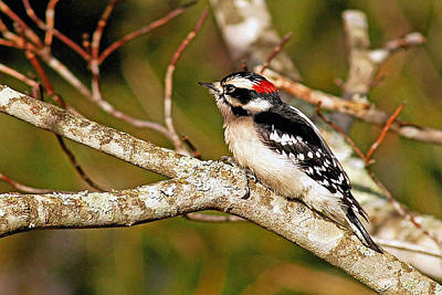 Downy Woodpecker Original by Alan Lenk
