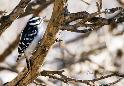 Photograph - Downy Woodpecker Approaching by Edward Peterson