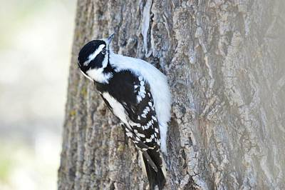 Photograph - Downy Woodpecker by Bonfire Photography