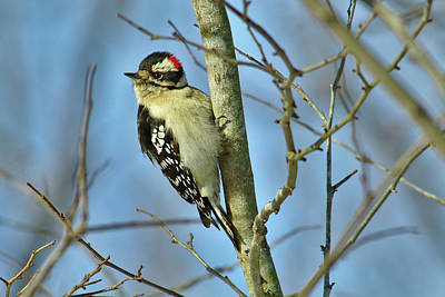 Photograph - Downy Woodpecker by Brad Chambers