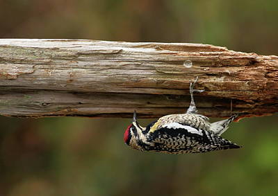 Photograph - Hairy Woodpecker by Daniel Reed